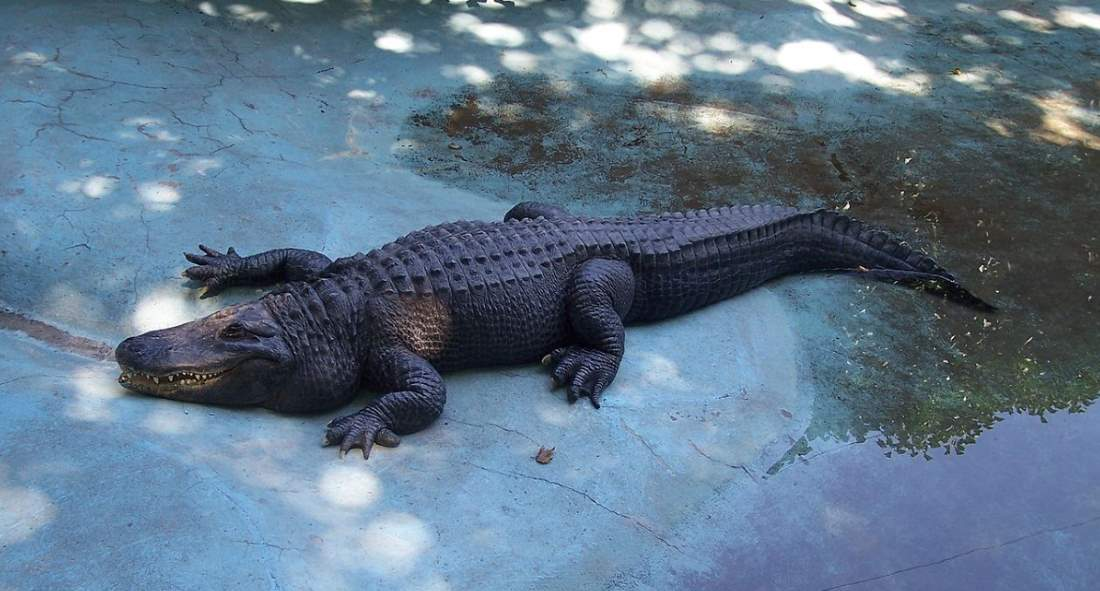 Muja, the oldest alligator