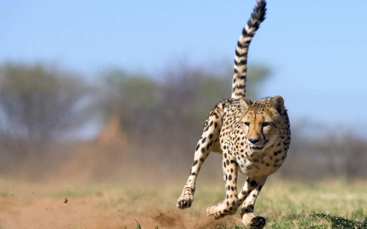 20 Amazing Cheetah Facts - Our Planet