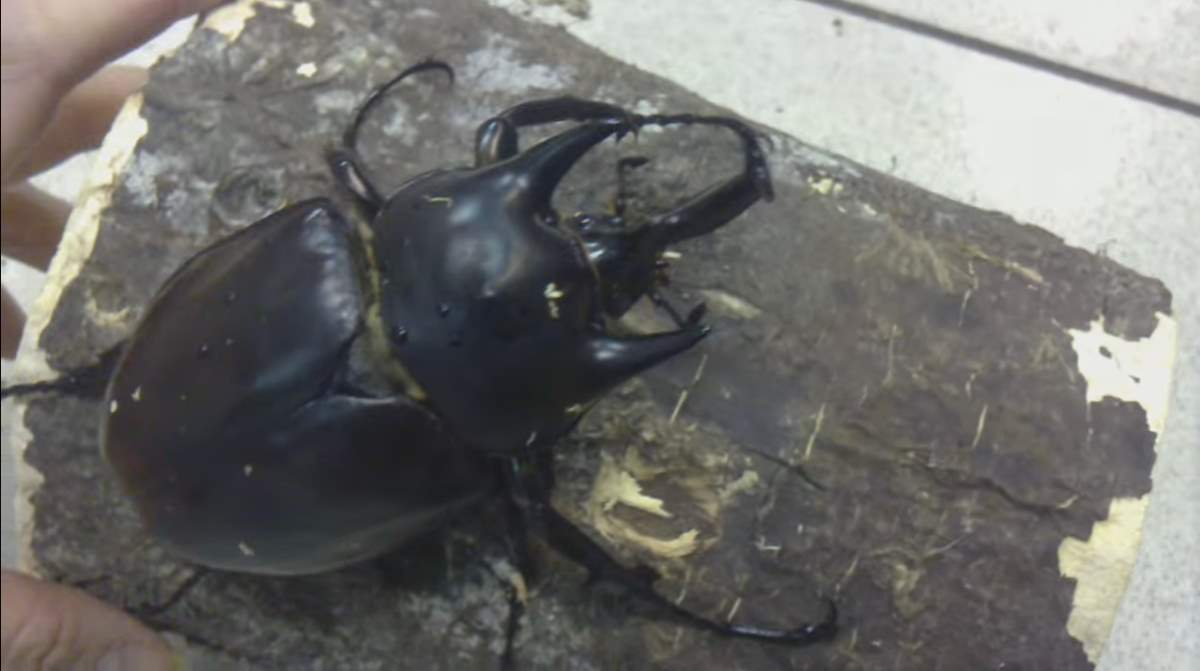 Largest insects: Actaeon beetle (Megasoma actaeon)