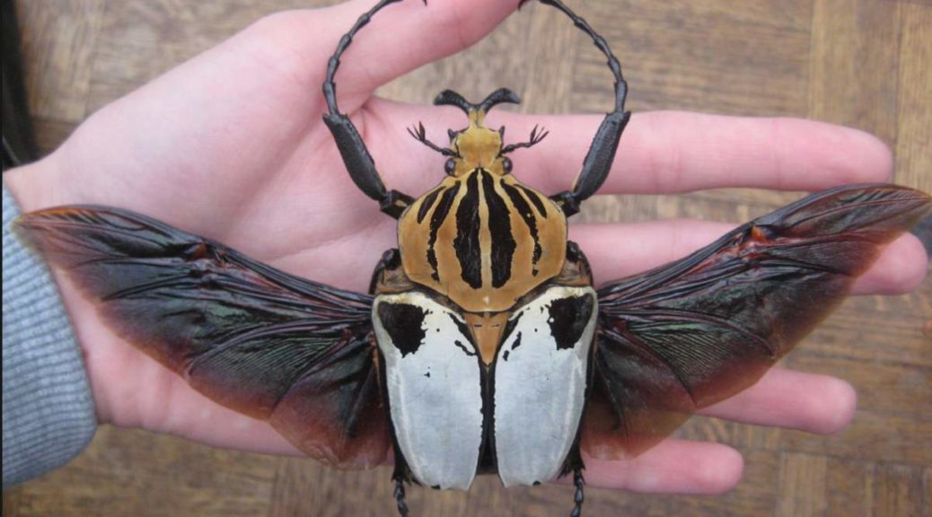A Goliath Beetle (Goliathus) on hand, wings open