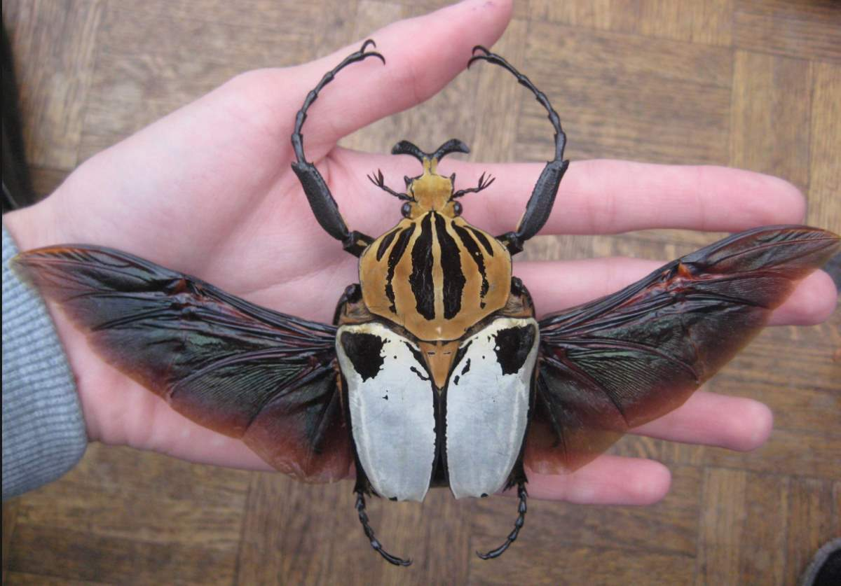 Largest insects: A Goliath Beetle (Goliathus) on hand, wings open
