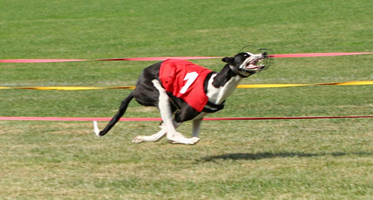 Fastest land animals: Greyhound running in a race