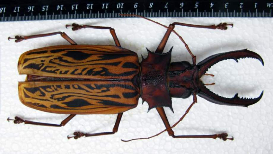 Largest Insects on Earth No. 3 - Macrodontia cervicornis