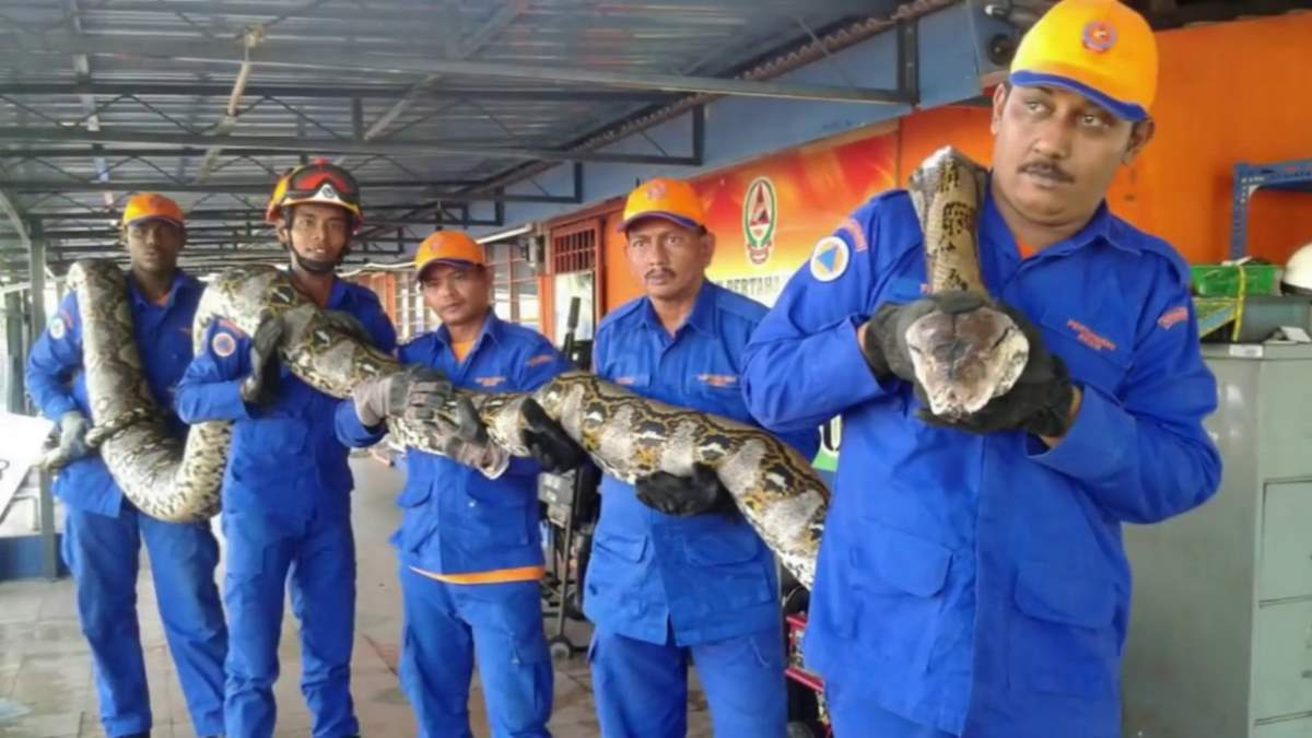 Largest snakes: Python captured in Malaysia