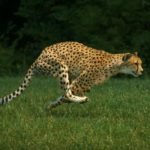 The fastest land animals