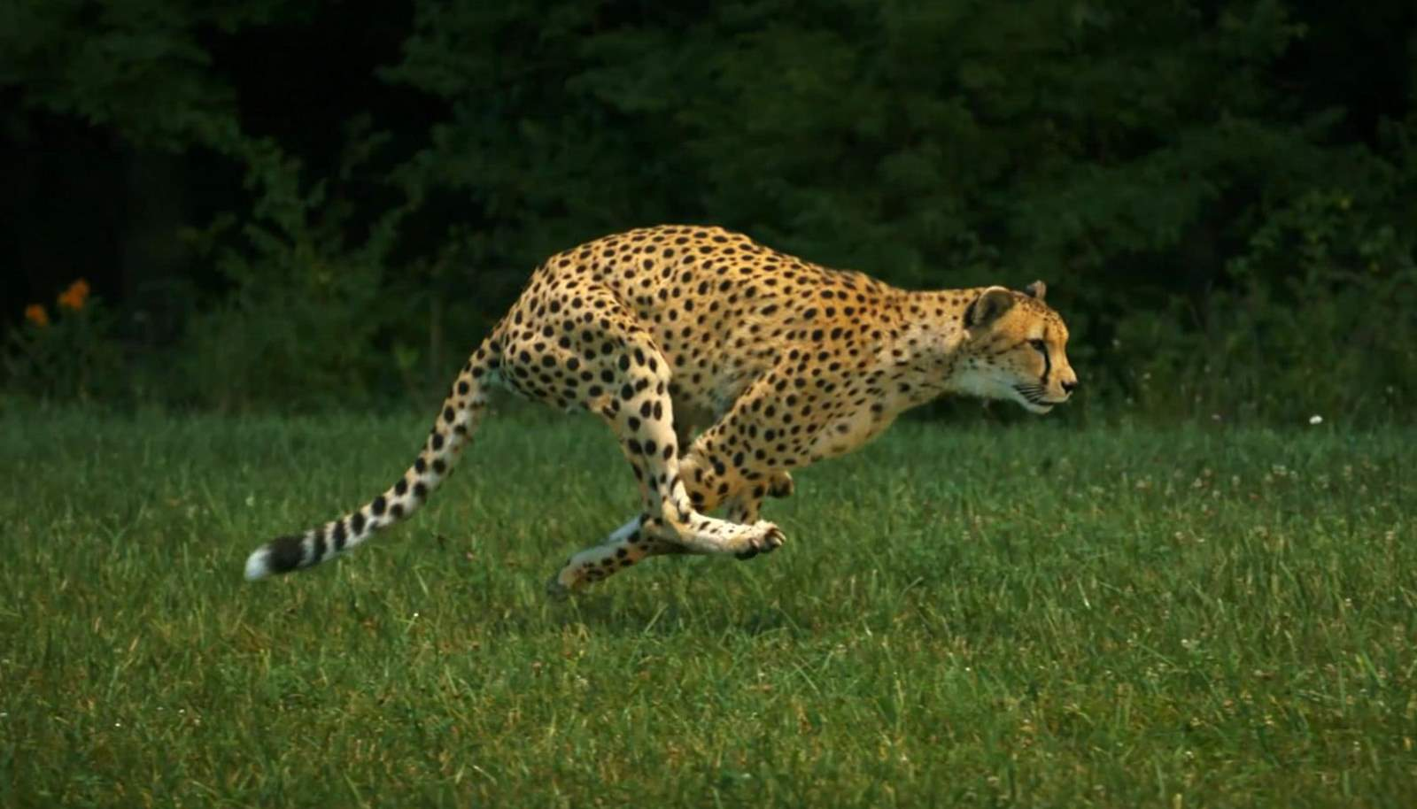 Fastest land animals: Sarah the cheetah, running