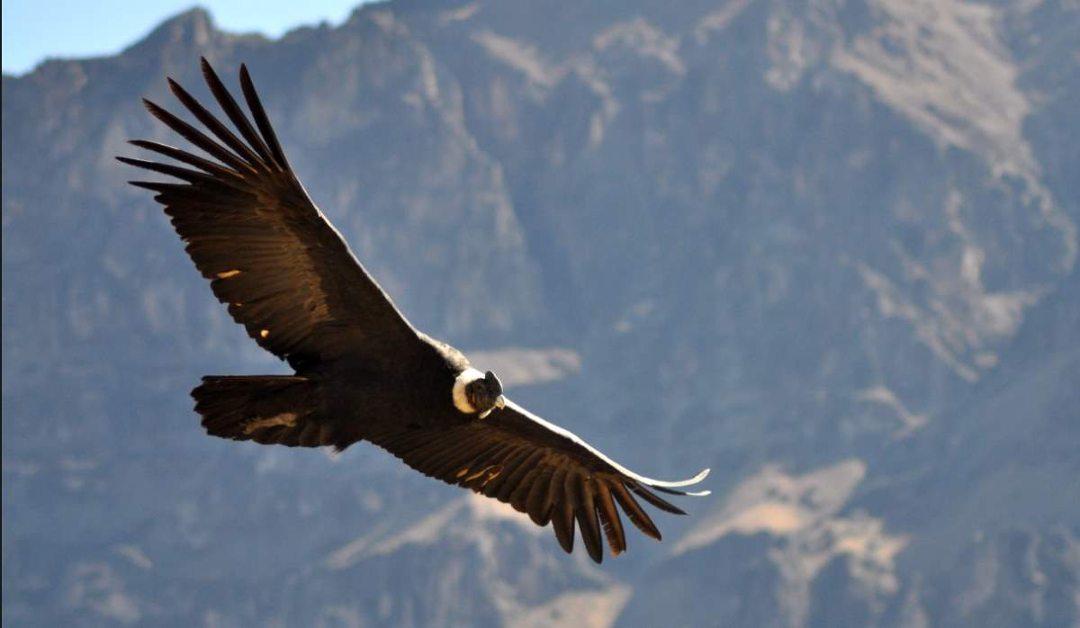 Largest bird species: Andean condor