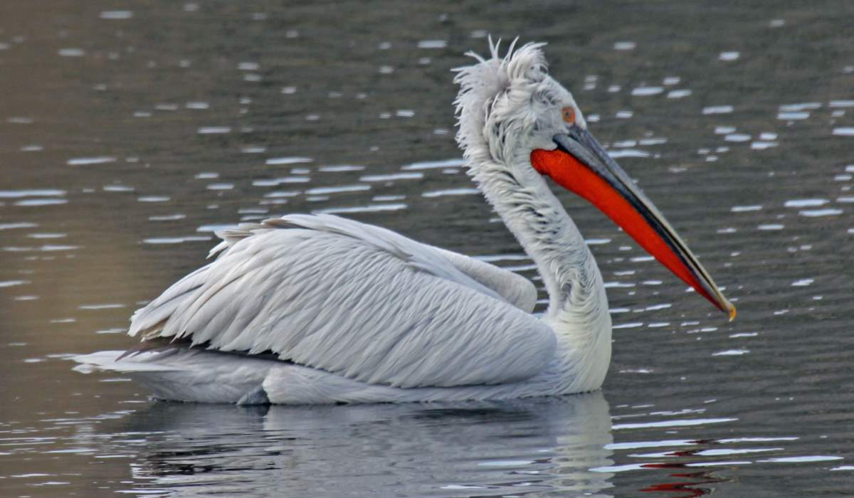 Largest bird species: Dalmatian pelican