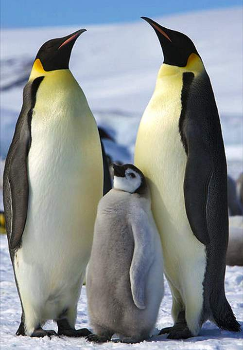 Largest bird species: Emperor penguin family