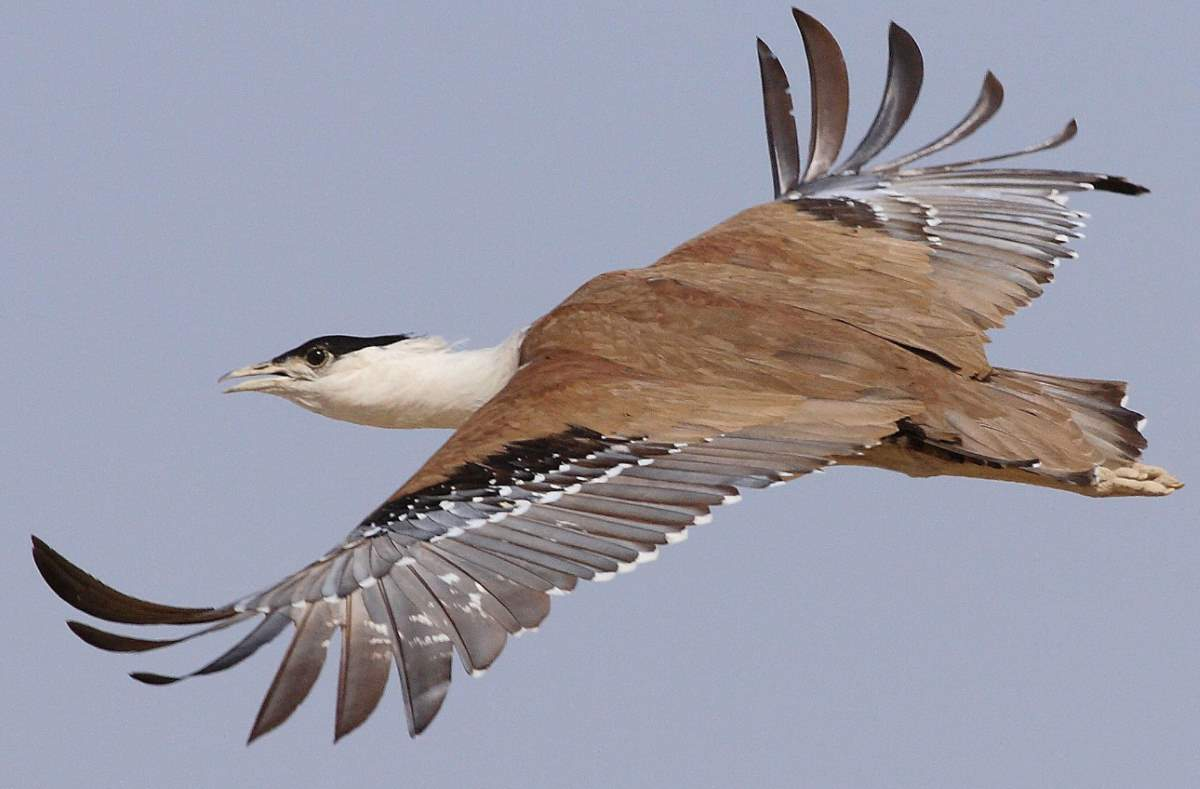 Largest bird species: Great bustard