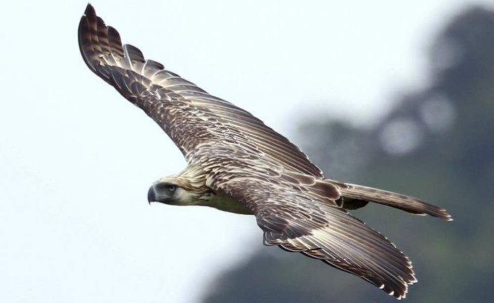 Largest bird species: Philippine eagle
