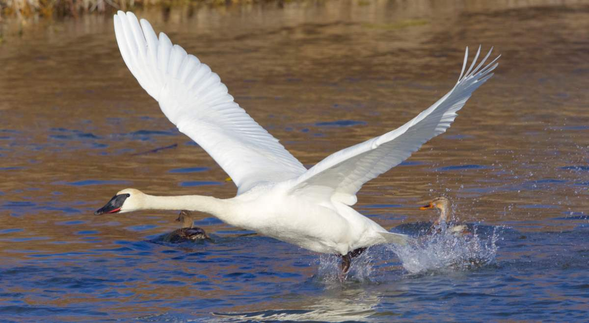 Largest bird species: Trumpeter swan