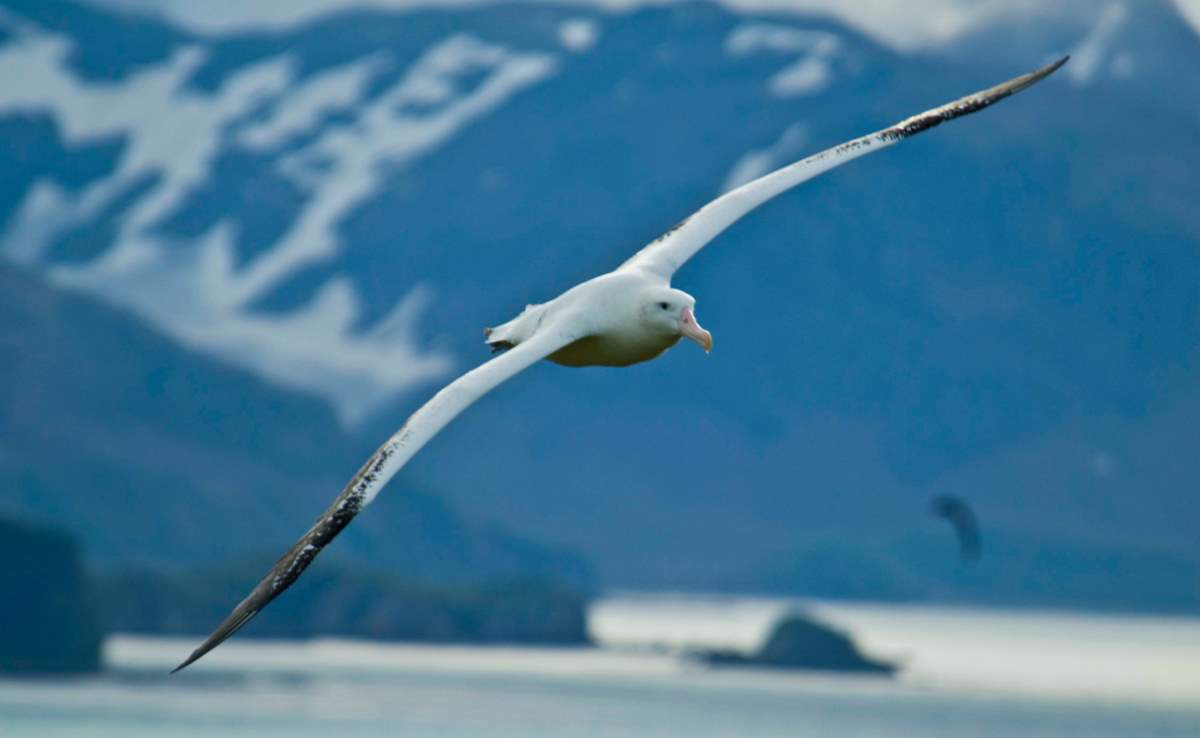 Largest bird species: Wandering albatross