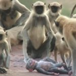 Monkeys Accidentally Kill A Robot Baby Monkey And Then Mourn For It – Amazing Video
