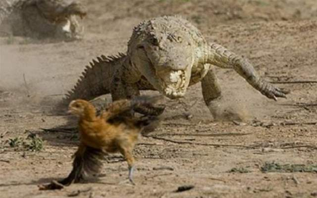 Crocodile pursuing a chicken