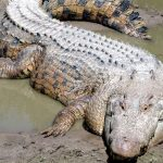 20 Amazing Crocodile Facts