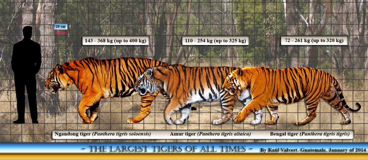 Largest prehistoric cats: Ngandong tiger size comparison