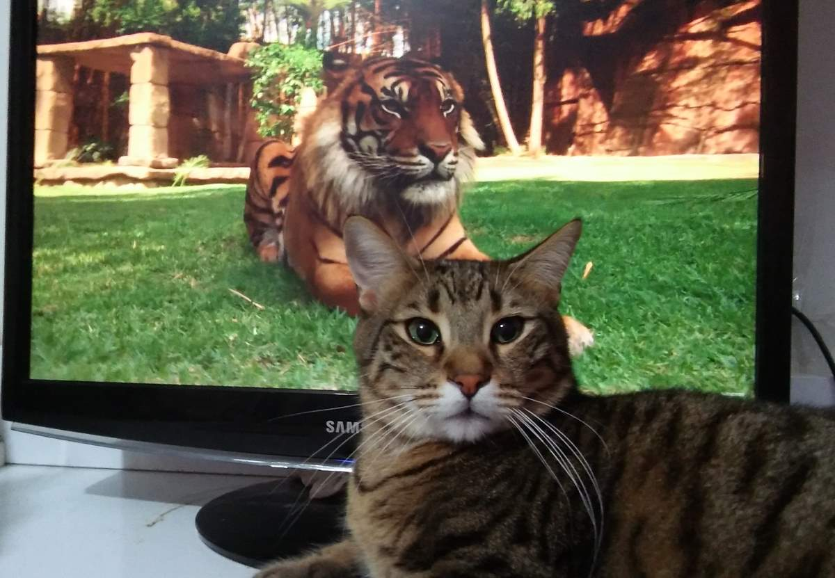 Tiger facts: Tiger and cat
