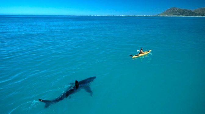Great white shark following a kayak