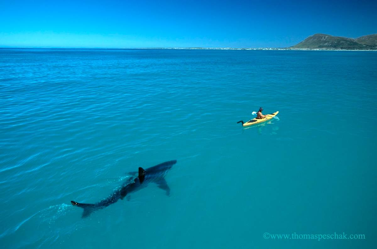 Man Who Befriended a Great White Shark? Great white shark following a kayak