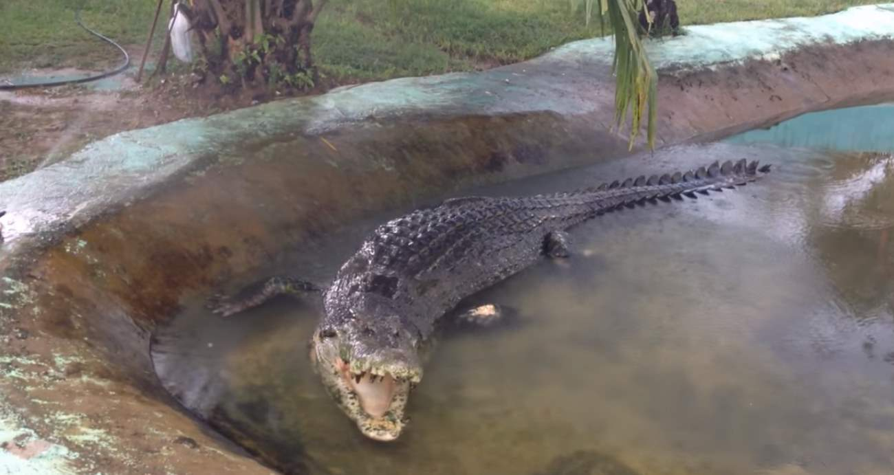 Lolong, World's biggest crocodile ever recorded, in captivity