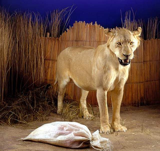 Lion facts: Man Eater Lion of Mfuwe