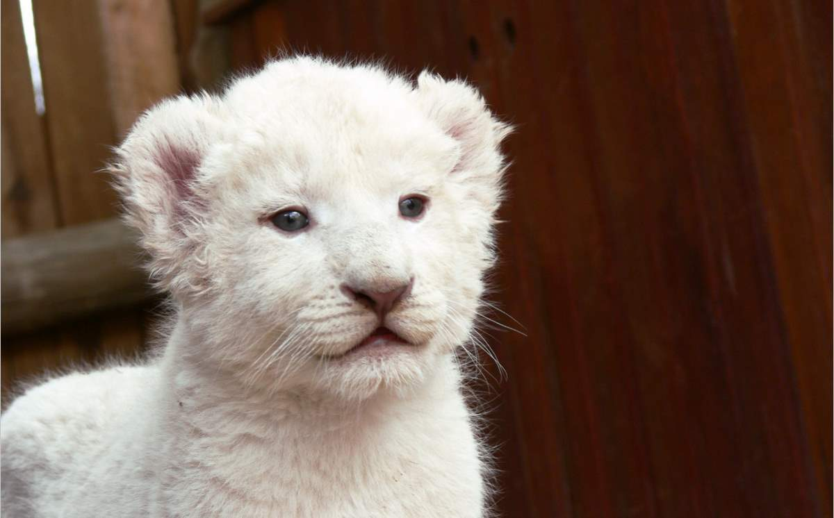 Lion facts: A white lion cub