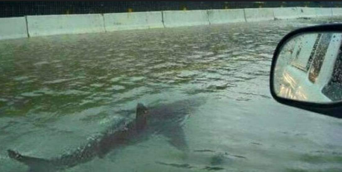 Man Who Befriended a Great White Shark? Shark swimming in a flooded street