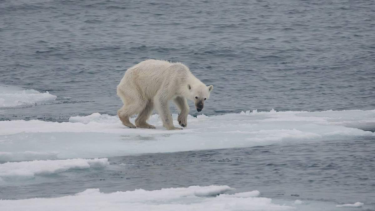 A starving polar bear in the Arctic