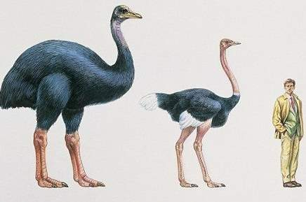 Extinction: Elephant bird - ostrich - human size comparison