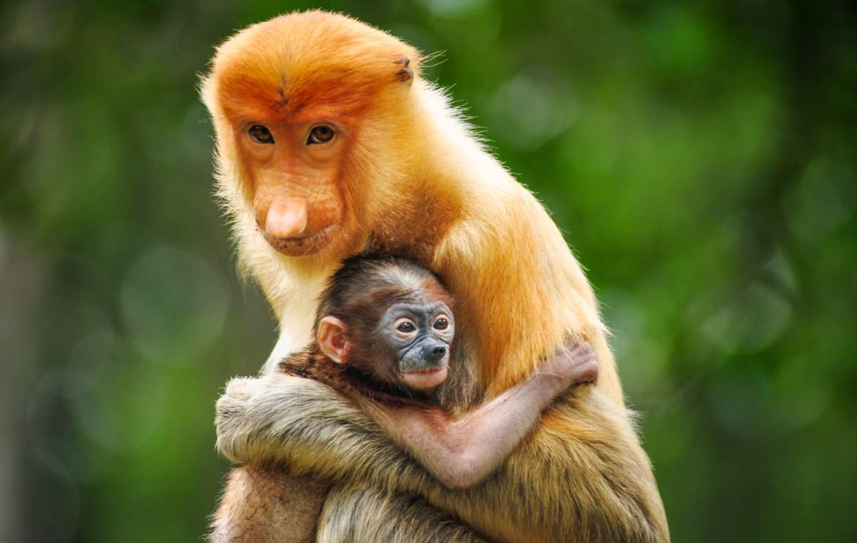 Humans are destroying the wilderness of the Earth: Proboscis monkey