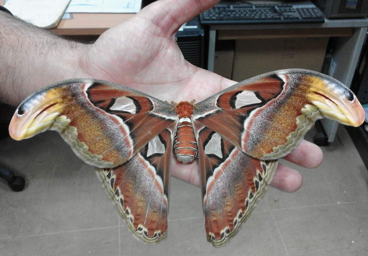 Attacus atlas (Atlas moth)