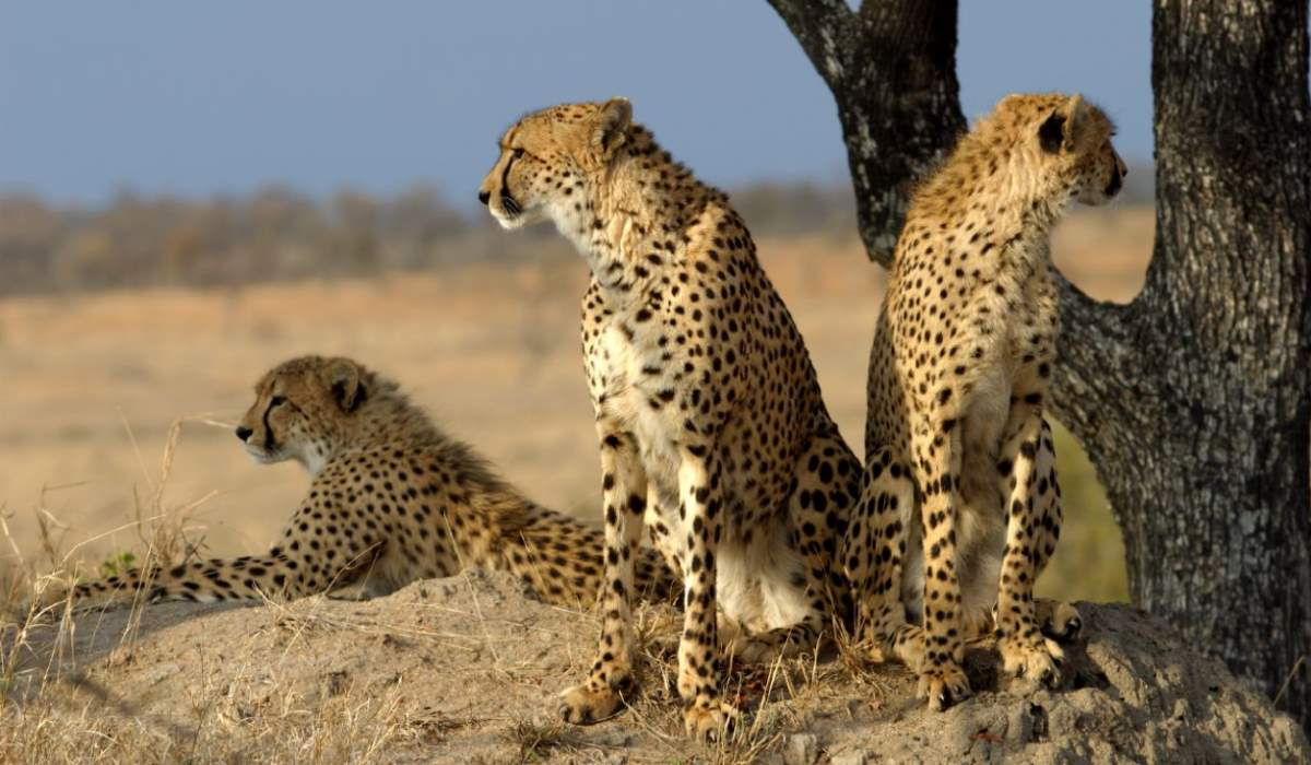 Cheetah facts: A group of cheetahs