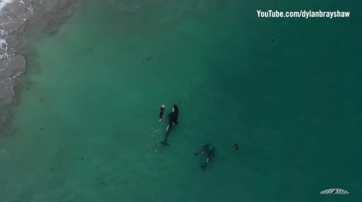 Three orcas swimming with a woman (New Zealand)