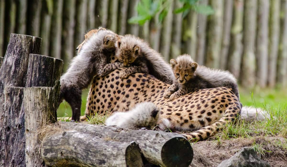 Cheetah facts: A mother cheetah and her cubs