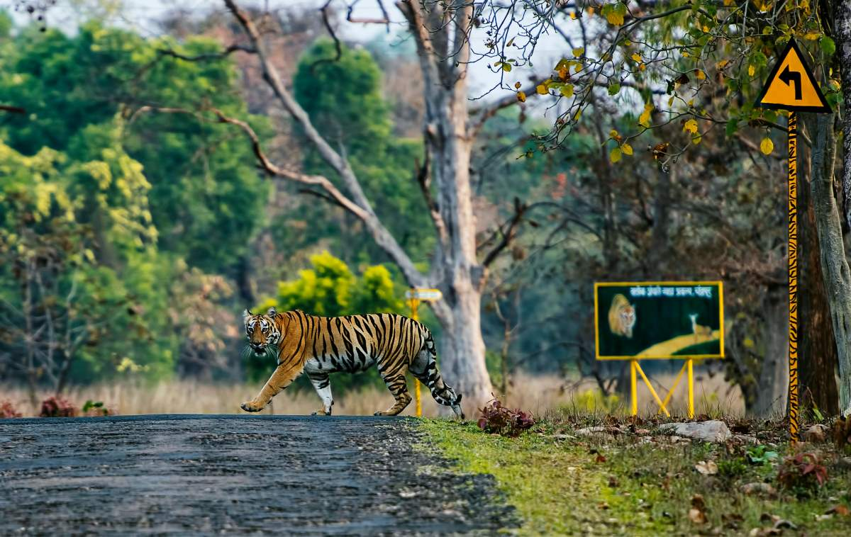 A tigress in the Indian state of Maharashtra, where Avni also lived and died.