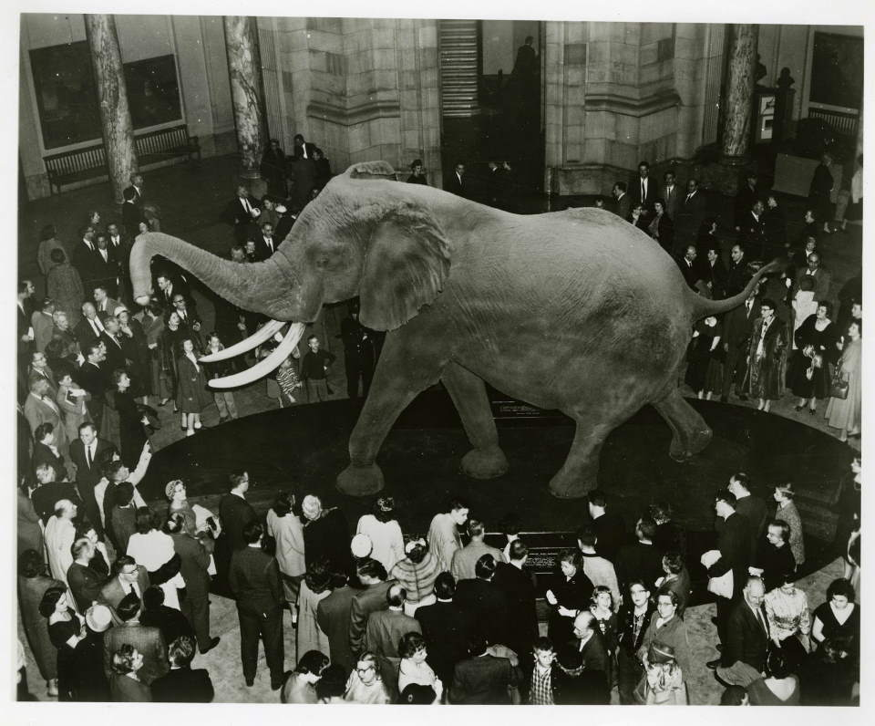 Henry, the largest elephant ever measured (1959)