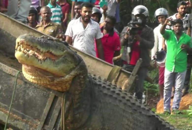 Largest crocodiles ever recorded: Matara crocodile