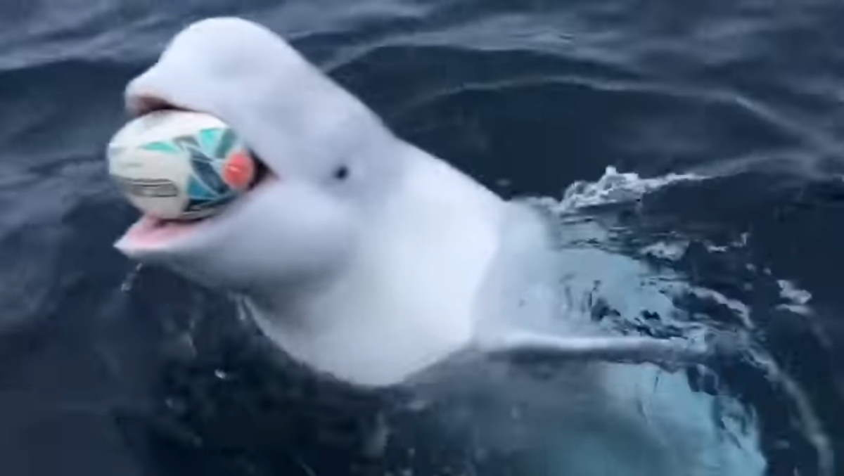 Beluga whale playing fetch