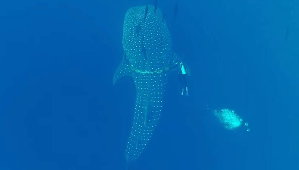 Diver saves whale shark