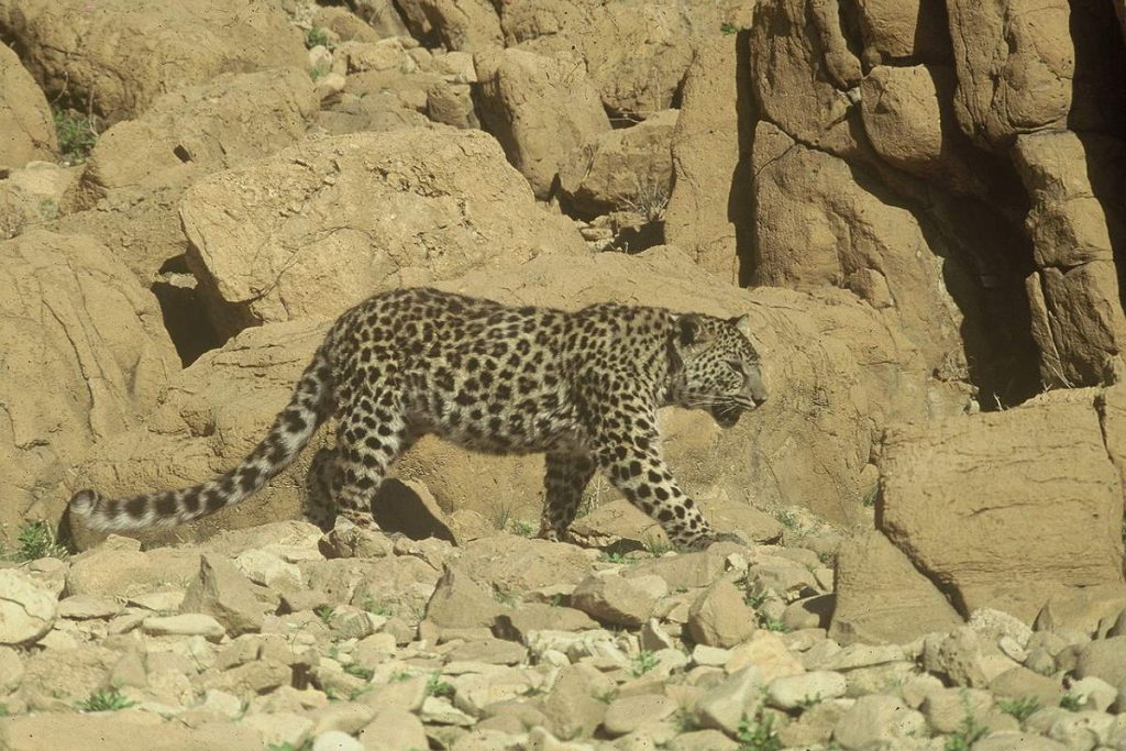 A leopard in the Judaean Desert in Israel