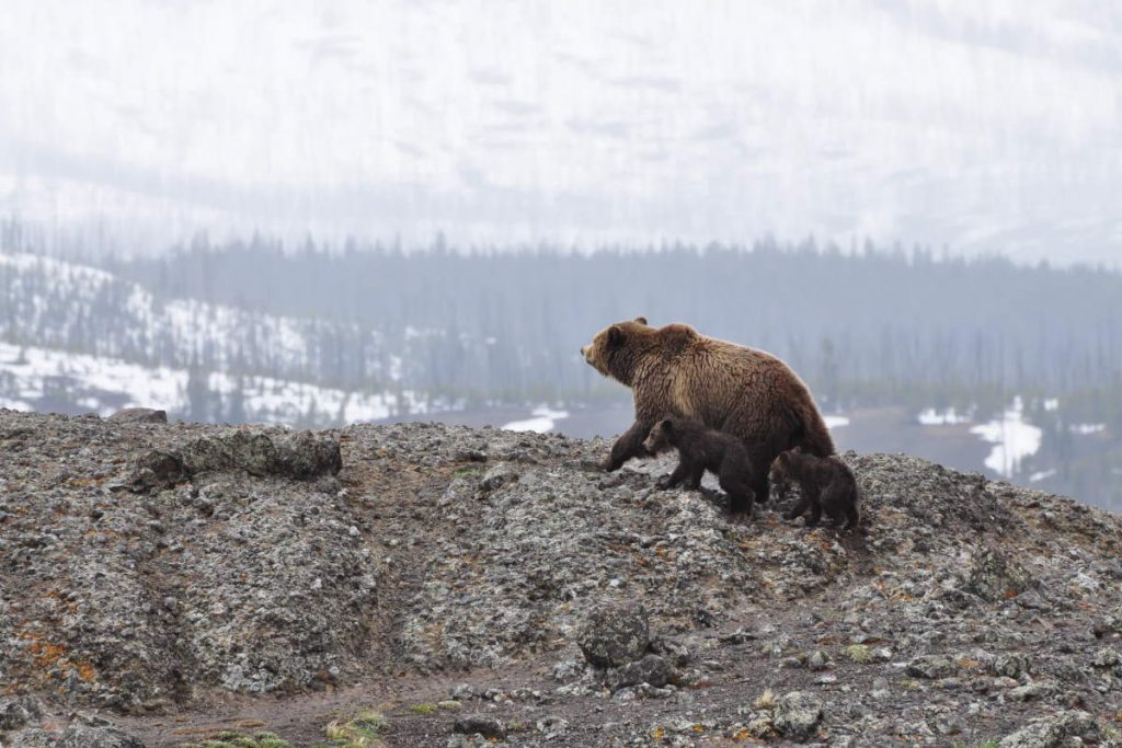 A mother grizzly bear and two cubs