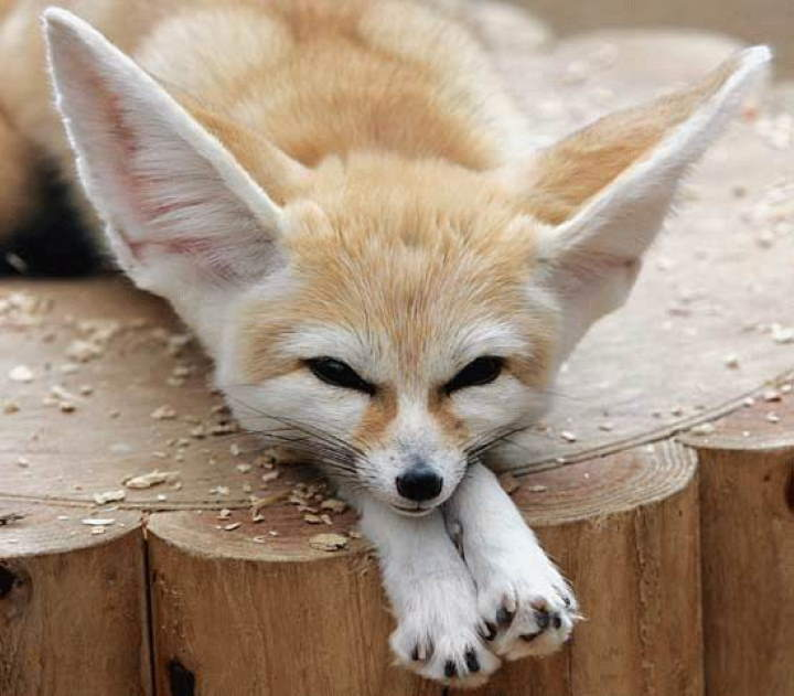 Fox facts: fennec fox