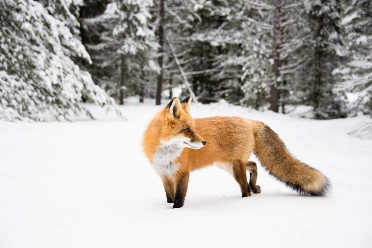 Orange fox in snow