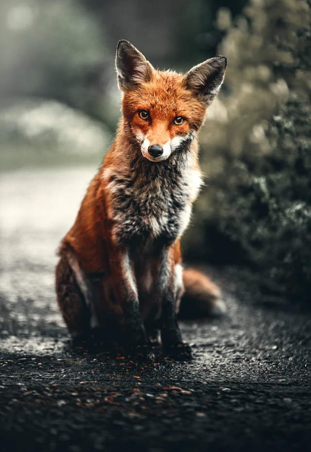 Fox facts: Orange fox