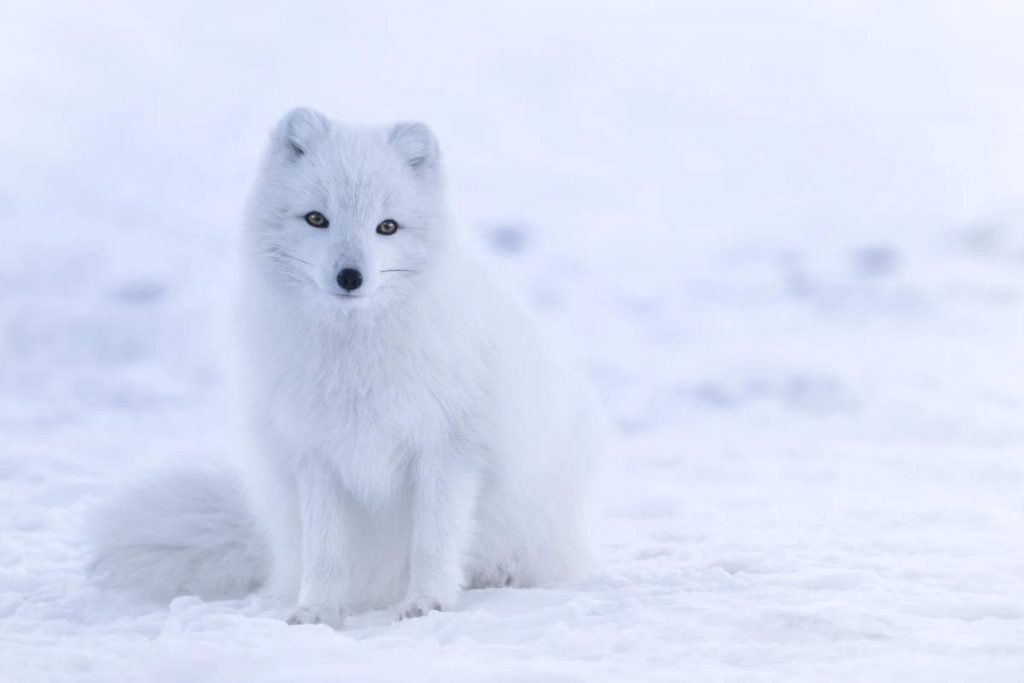 Fox facts: Arctic fox