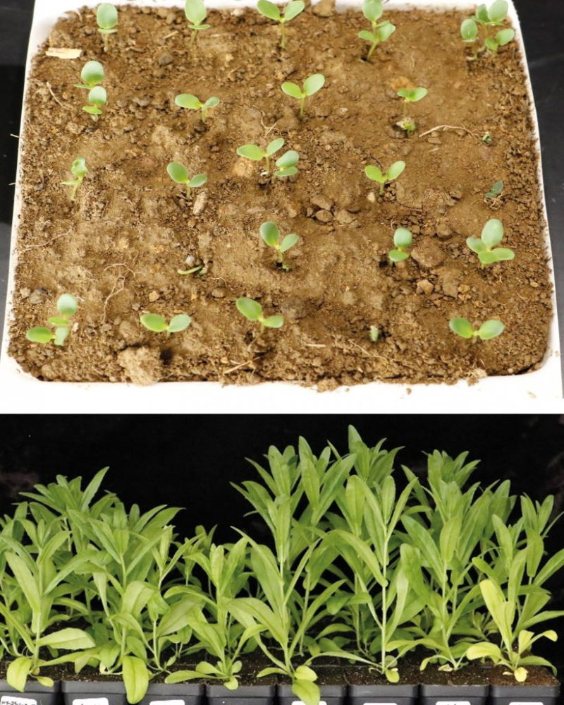 Creating power foods with gene technology: Camelina sativa