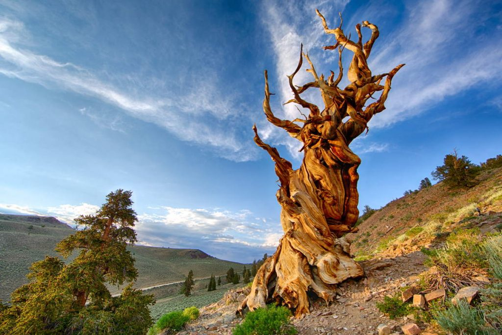The oldest trees in the world: Methuselah