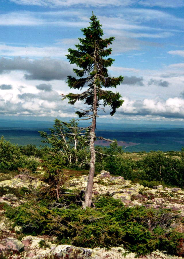 The oldest trees in the world: Old Tjikko
